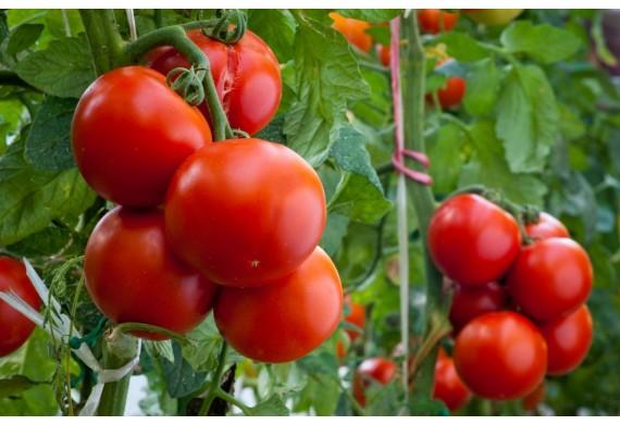 8 преимуществ капельного полива при выращивании помидор