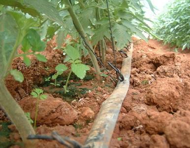 Капельный полив помидор